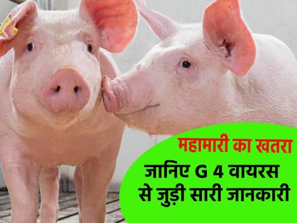 China G4 Virus News: कोरोना के बाद चीन से एक और महामारी का खतरा,सूअर से इंसानों में फेलेगा जी 4 फ्लू